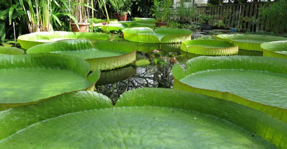 Victoria cruziana_Botanischer Garten Jena